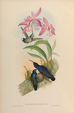 orqui